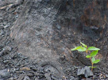 New sapling emerging after a forest fire